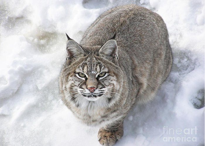 Animal Greeting Card featuring the photograph Close-up Of Bobcat Lynx Looking At Camera by Sylvie Bouchard