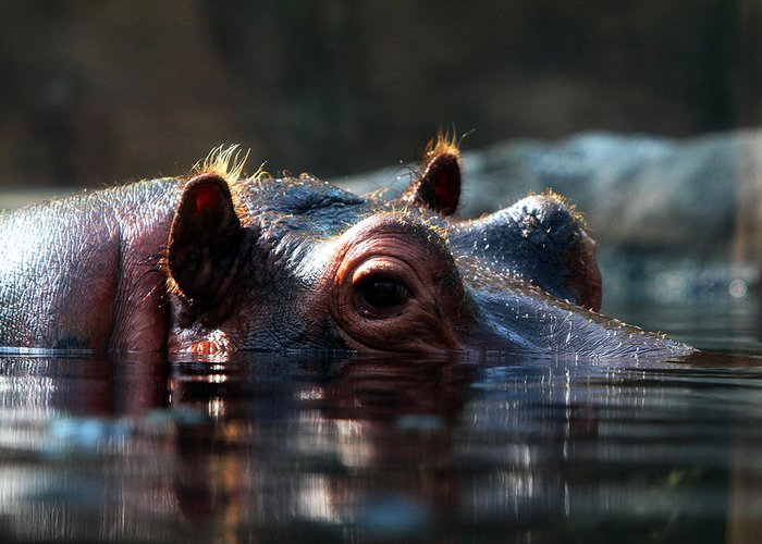 Hippopotamus Greeting Card featuring the photograph Content Hippo by John Freidenberg