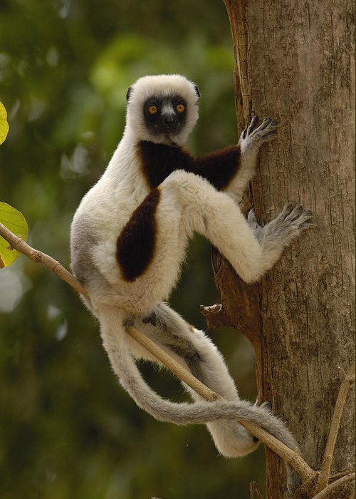Feb0514 Greeting Card featuring the photograph Coquerels Sifaka Madagascar by Pete Oxford