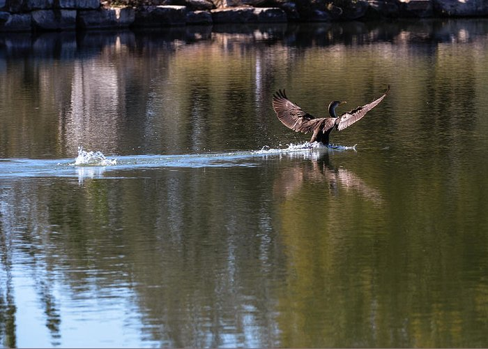Duck Greeting Card featuring the photograph Cormorant Landing by John Johnson