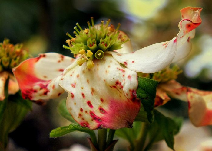 Dogwoods Greeting Card featuring the photograph Cranberry Dogwoods by Karen Wiles