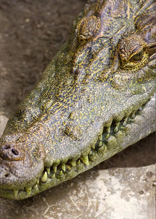 Alligator Greeting Card featuring the photograph Crocodile by Jorgo Photography - Wall Art Gallery