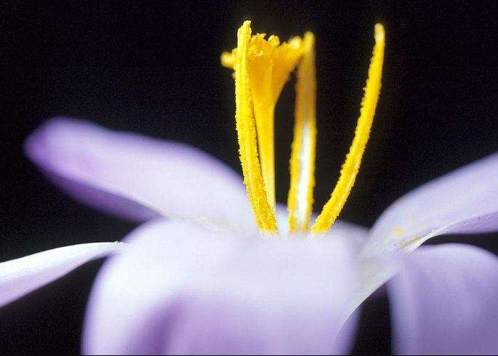 Crocus Greeting Card featuring the photograph Crocus by Carl Perkins