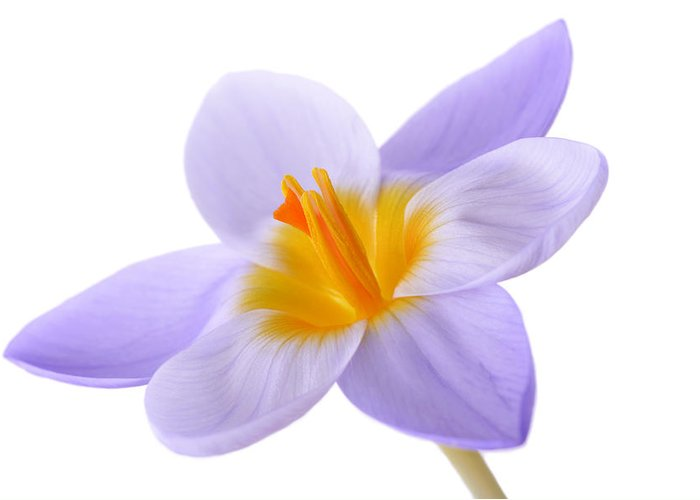 Beautiful Greeting Card featuring the photograph Crocus by Mark Johnson