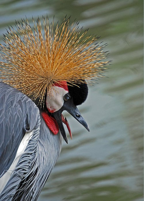 Crane Greeting Card featuring the photograph Crowned Crane by Skip Willits