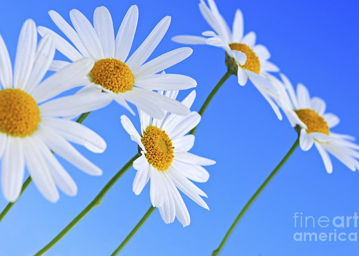 Daisy Greeting Card featuring the photograph Daisy Flowers On Blue Background by Elena Elisseeva