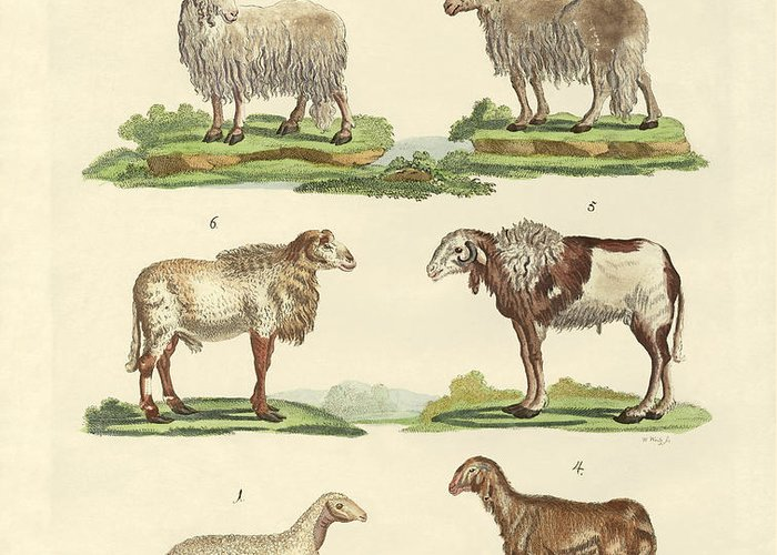 Long Tailed Sheep Greeting Cards