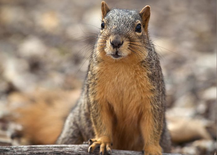 Squirrel Greeting Card featuring the photograph Eastern Fox Squirrel by Brandon Alms