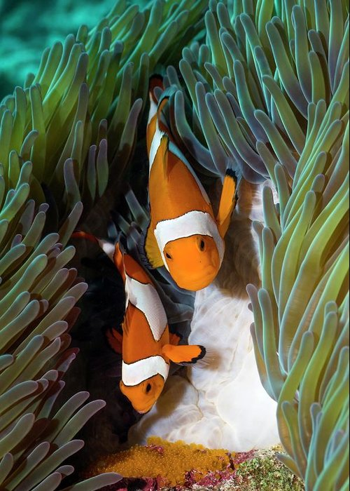 Amphiprion Ocellaris Greeting Cards