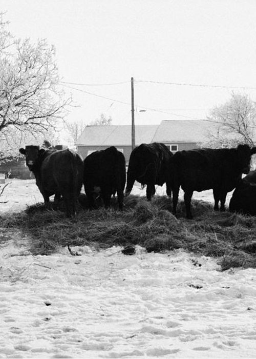 Feed Greeting Card featuring the photograph feed and fresh grass laid out for cows on winter farmland Forget Saskatchewan Canada by Joe Fox