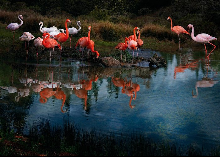 Pink Flamingo Greeting Card featuring the photograph Flamingo Convention by Melinda Hughes-Berland