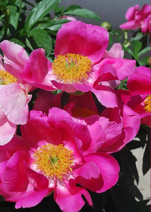 Pink Peony Greeting Card featuring the photograph Garden Party by Billie Colson