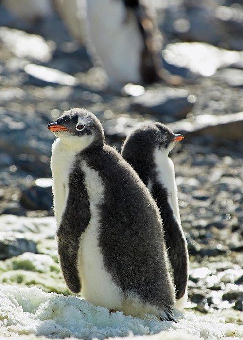 Alertness Greeting Card featuring the photograph Gentoo Penguins Pygoscelis Papua by Jim Julien / Design Pics