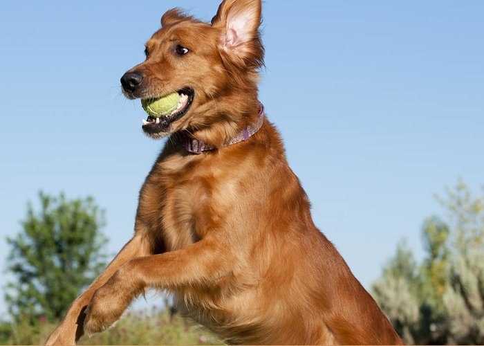 Golden Retriever Playing Ball Greeting Cards