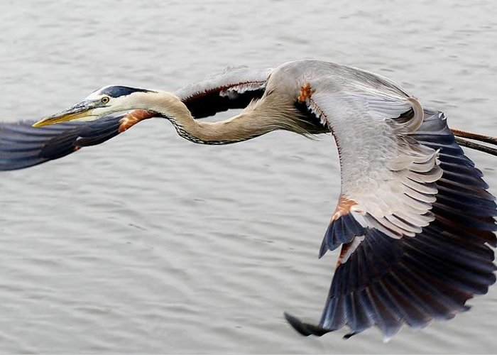 Great Blue Heron Greeting Card featuring the photograph Great Blue Heron In Flight by Paulette Thomas