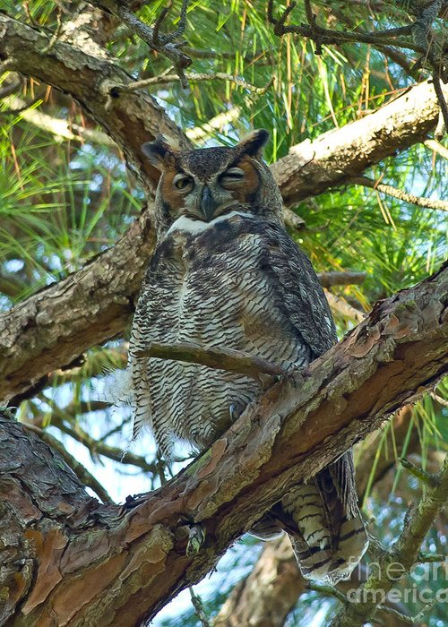 Great Horned Owl Greeting Card featuring the photograph Great Horned Owl by Stephen Whalen