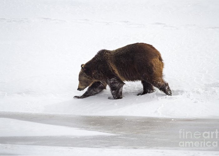 Adult Greeting Card featuring the photograph Grizzly Bear Walking In Snow by Mike Cavaroc
