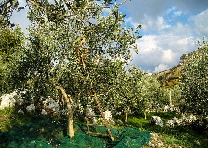 Olive Tree Greeting Card featuring the photograph Harvest Day by Dany Lison