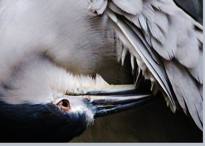 Heron Greeting Card featuring the photograph Heron Feathers by Paulette Thomas