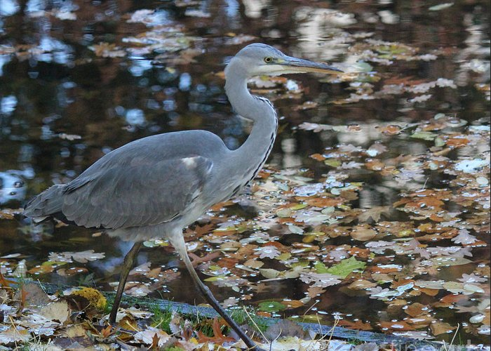 Herons Greeting Card featuring the photograph Heron On The River by Four Hands Art