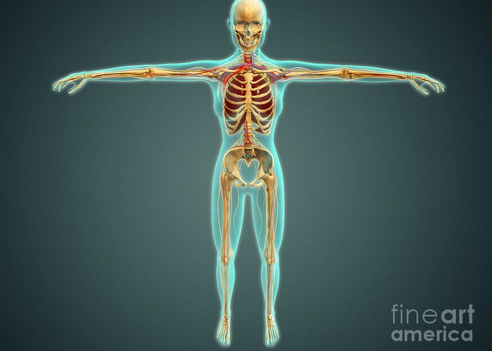 Median Nerves Greeting Card featuring the digital art Human Body Showing Skeletal System by Stocktrek Images