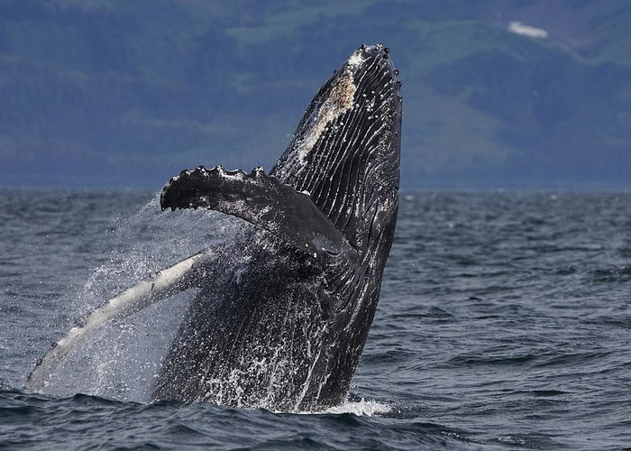 Breaching Whale Greeting Cards