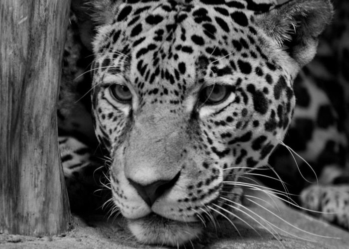 Jaguar Greeting Card featuring the photograph Jaguar In Black And White II by Sandy Keeton