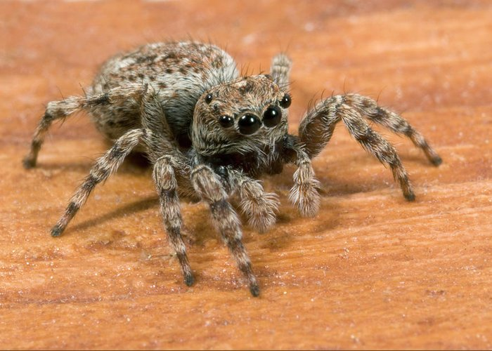 Jumping Spiders Greeting Cards