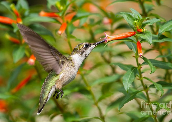 Ruby-throated Hummingbird Greeting Card featuring the photograph Juvenile Male Ruby-throated Hummingbird by Dawna Moore Photography