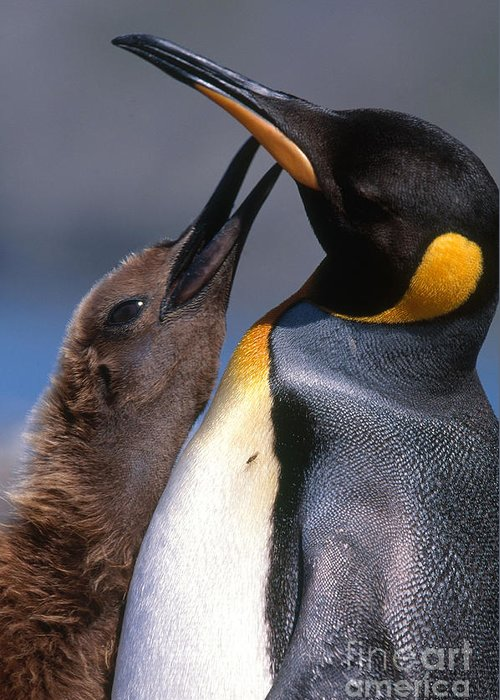 King Penguin Greeting Card featuring the photograph King Penguin With Chick by Art Wolfe