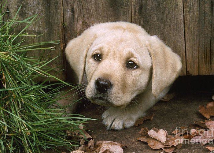 Labrador Greeting Card featuring the photograph Labrador Puppy by John Daniels
