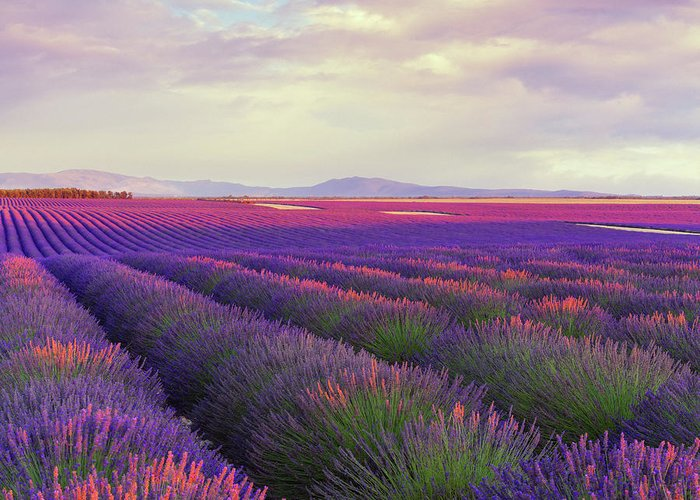 Dawn Greeting Card featuring the photograph Lavender Field At Dusk by Mammuth