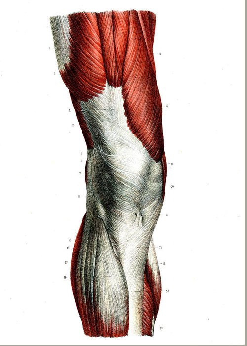 Muscle System Art Fine Art America