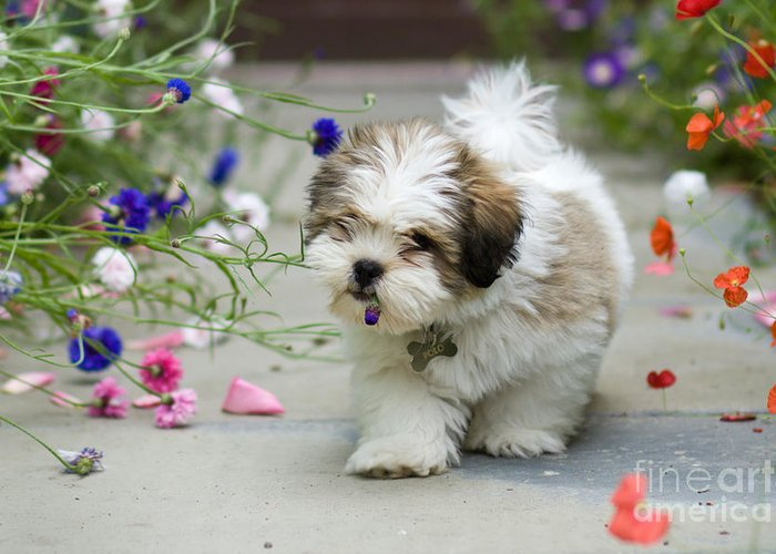 Lhasa Apso Greeting Card featuring the photograph Lhasa Apso Puppy by Ruth Black