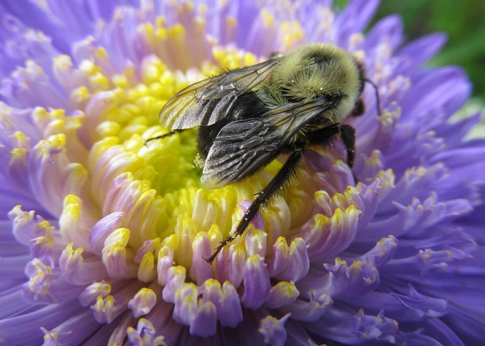 Bee Greeting Card featuring the photograph Light Nectar by Zeitlin Giffen