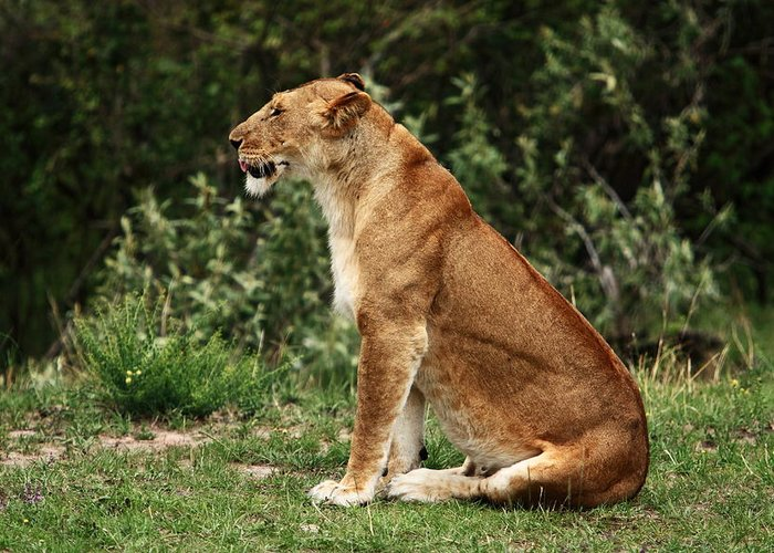 Lion Greeting Card featuring the photograph Lioness On The Masai Mara by Aidan Moran