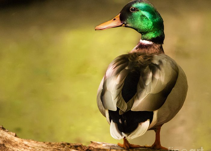 Bird Greeting Card featuring the photograph Mallard Duck by Michael Shake