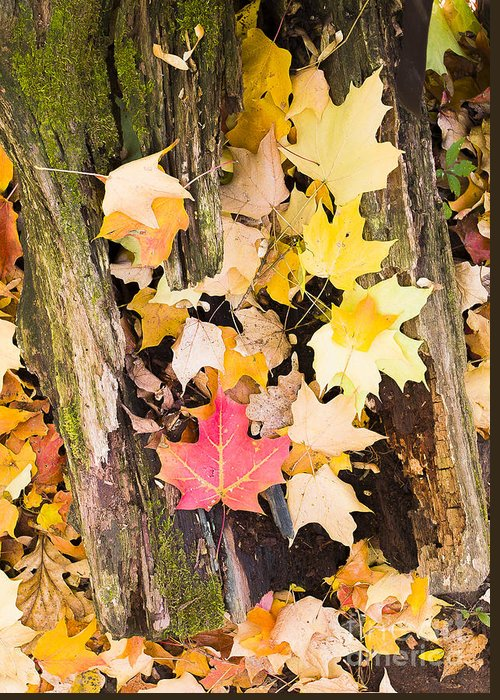 Arbretum. Fall Greeting Card featuring the photograph Maple Leaves by Steven Ralser