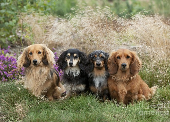 Miniature long haired dachshunds greeting card for sale by john daniels miniature long haired dachshund greeting card featuring the photograph miniature long haired dachshunds by m4hsunfo