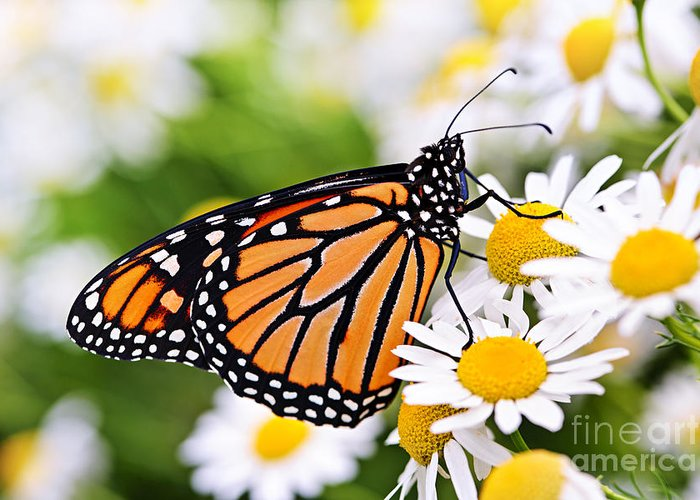Monarch Greeting Card featuring the photograph Monarch Butterfly by Elena Elisseeva