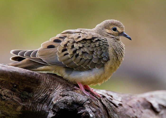 Mourning Dove Greeting Cards