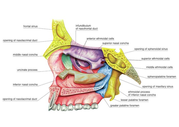 Nasal Cavity Greeting Card For Sale By Asklepios Medical Atlas