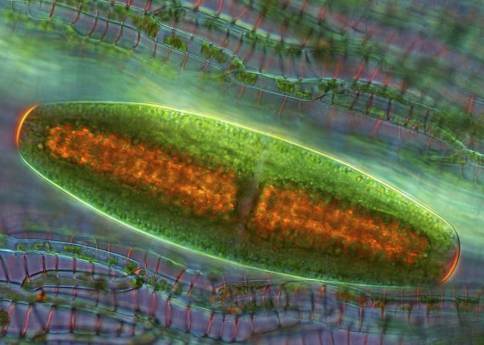 Algae Greeting Card featuring the photograph Netrium Desmid, Light Micrograph by Science Photo Library