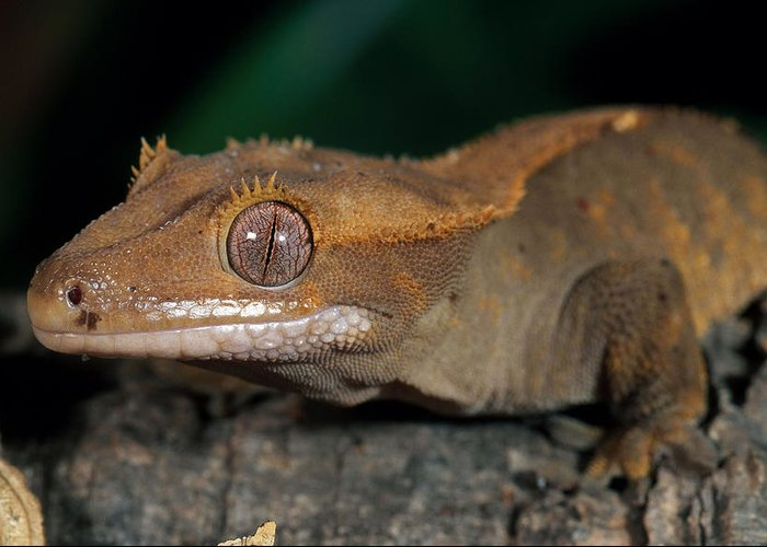 New Caledonian Crested Gecko Greeting Card
