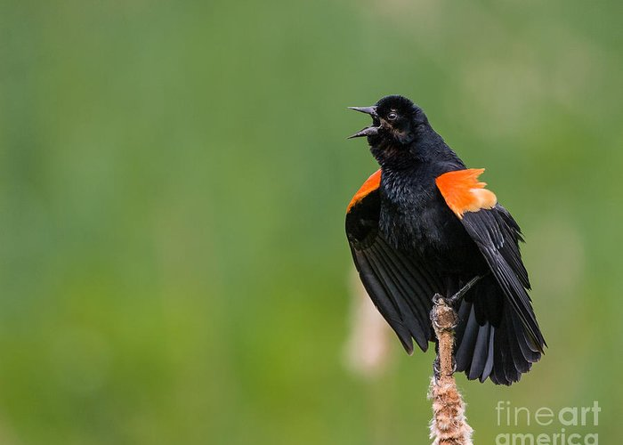 Red-winged Blackbird Greeting Card featuring the photograph Noisemaker by Dale Nelson