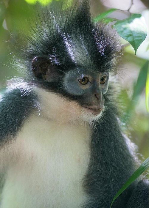 Animal Greeting Card featuring the photograph Northern Sumatran Leaf Monkey by Scubazoo