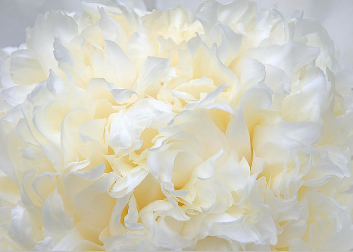 Peony Greeting Card featuring the photograph Pale Peony Petals by Leda Robertson