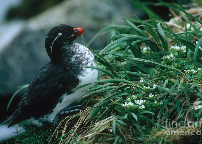 Auklets Greeting Cards