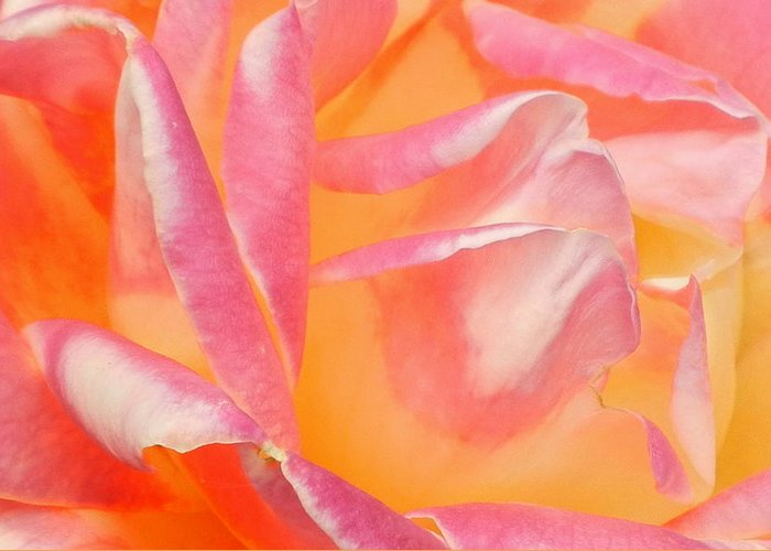 Roses Greeting Card featuring the photograph Peachy Pink Rose by Virginia Forbes