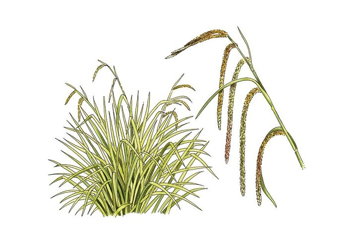 Cutout Greeting Card featuring the photograph Pendulous Sedge (carex Pendula) by Science Photo Library